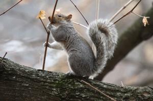 Squirrel in Arlington