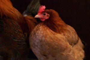 Chicken (file photo)