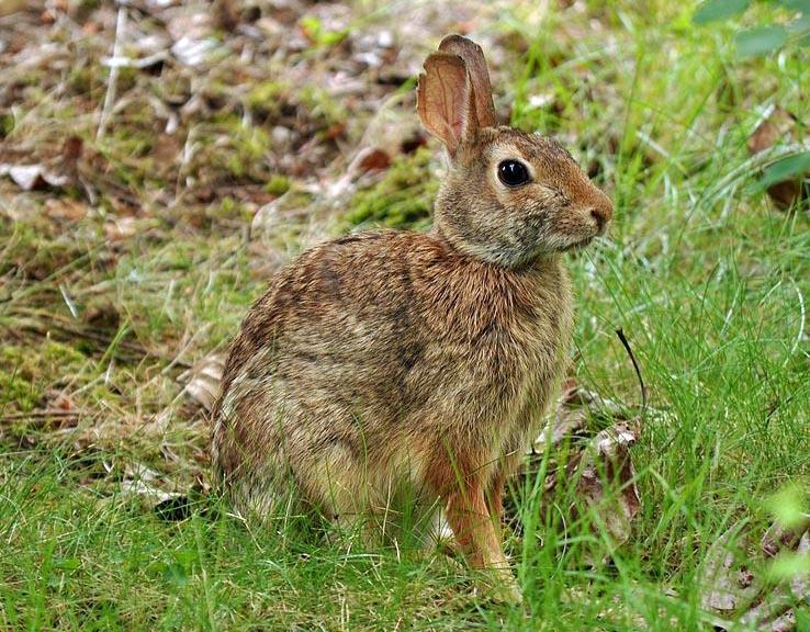 Cottontail rabbit habitat - photo#9