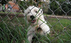 A Westie at Clarendon dog park (file photo)