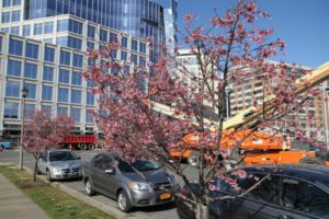 Tree blossoms in Ballston
