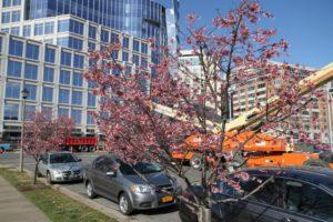 Tree blossoms in Ballston