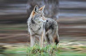 Coyote (file photo via Wikipedia)