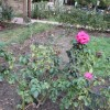 Fall rose buds at the Bon Air Rose Garden were decimated by midge