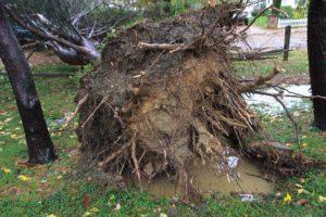 Fallen tree in Bluemont