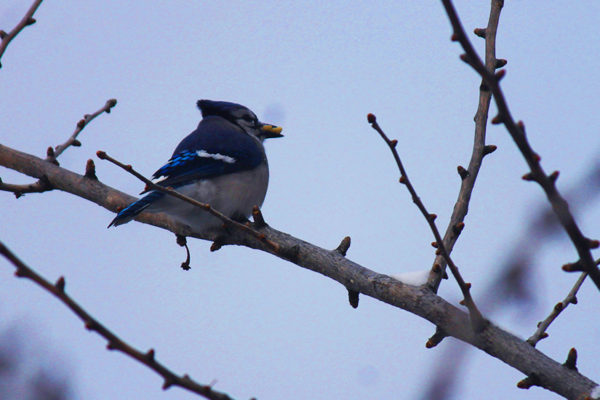 Blue jay in North Arlington