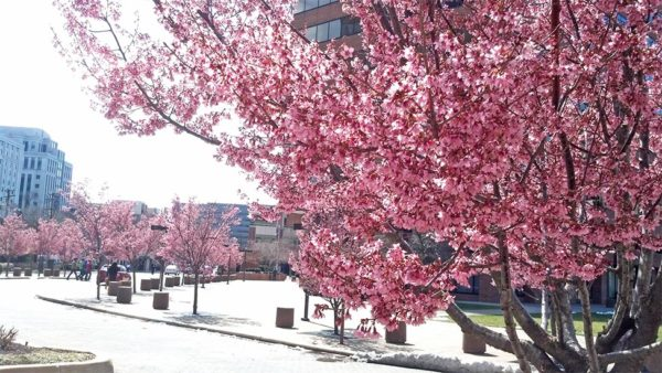 Cherry blossoms in Courthouse