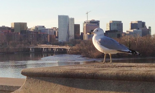 A seagull and a view of Rosslyn (photo courtesy Scott Shelbo)