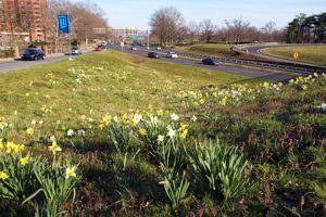 Daffodils next to Route 50