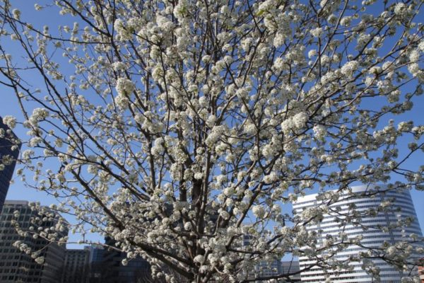A tree in bloom in Rosslyn