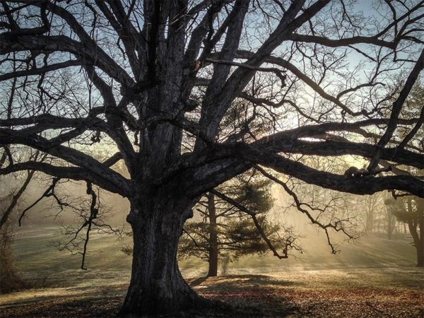 Reevesland Oak at Bluemont Park by Ddimick (photo taken with iPhone 4S)