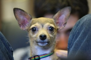 A Chihuahua (photo by Paul Komarek)