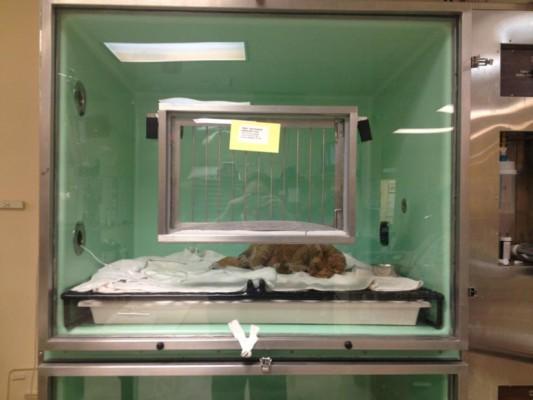 Courtesy VCA SouthPaws Veterinary Specialists & Emergency Center