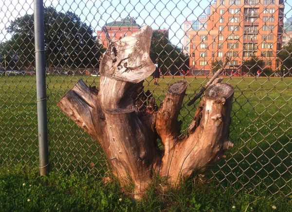 Stuck stump at Quincy Park