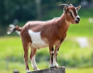 Goat (photo by Armin Kubelbeck via Wikimedia)