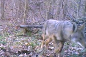 Coyote spotted in Arlington in Potomac Overlook Regional Park