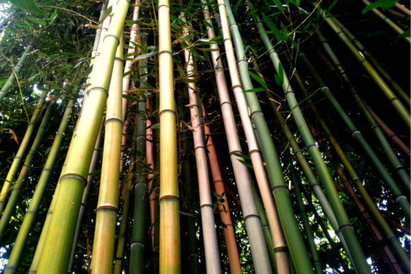 Bamboo in the North Highlands neighborhood