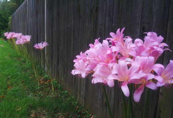 Lilies in Waycroft-Woodlawn