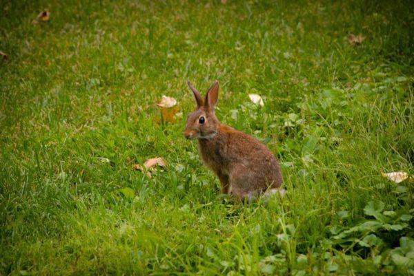 Lyon Village rabbit (Flickr pool photo by jordanhiggins)