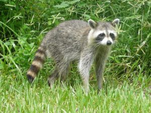 A raccoon in a backyard (photo by Bastique via Wikipedia)