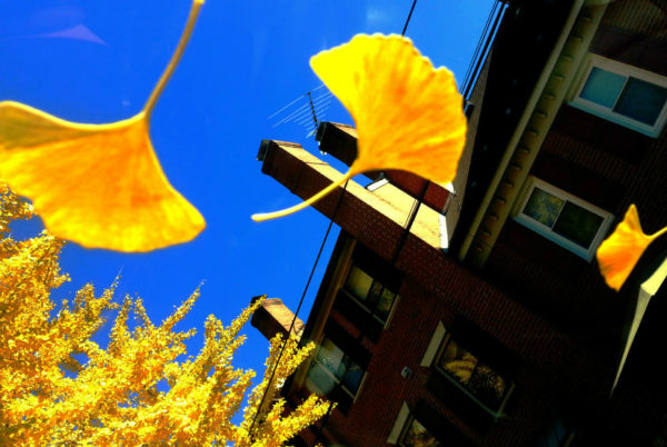 Ginkgo leaves in north Arlington