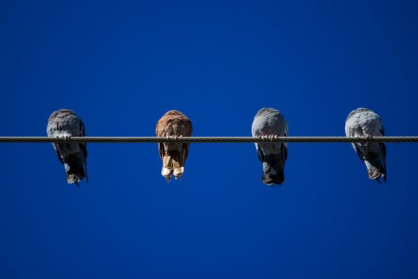 Pigeons on a wire (Flickr pool photo by Wolfkann)