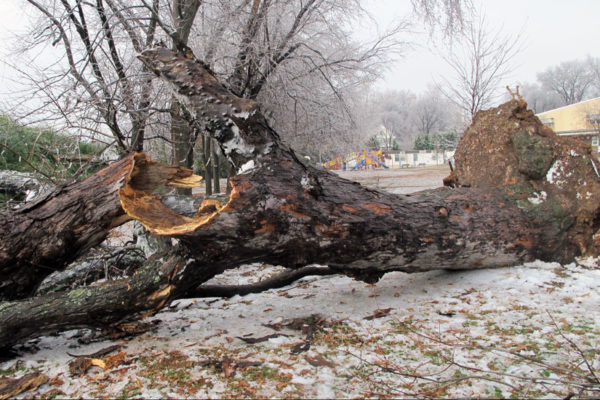 Tree falls at Glebe Elementary School (photo via Camryn Gulbranson)