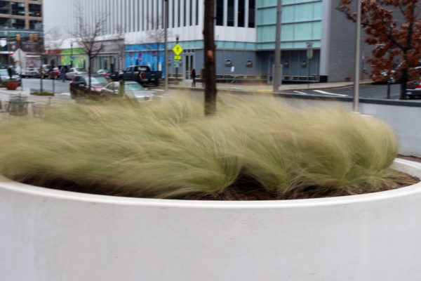 Decorative grass blowing in the wind in Rosslyn