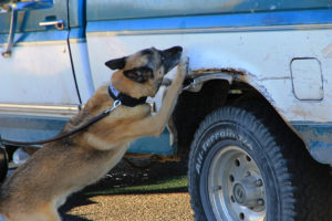"ACPD K-9 ""Ozzie"" searches a suspect vehicle for drugs"