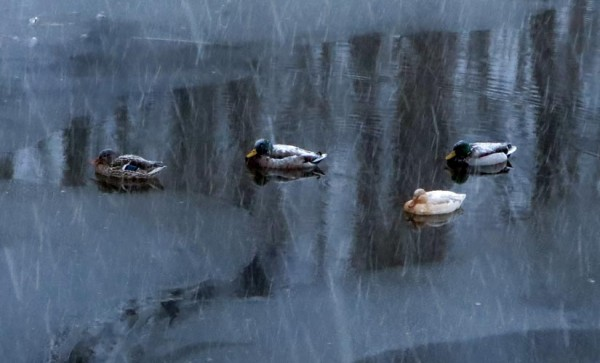 Mallards in Sparrow Pond near Four Mile Run (Flickr pool photo by Mrs. Gemstone)