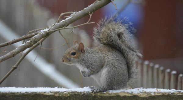 Squirrel in the snow (Flickr pool photo by J. Sonder)