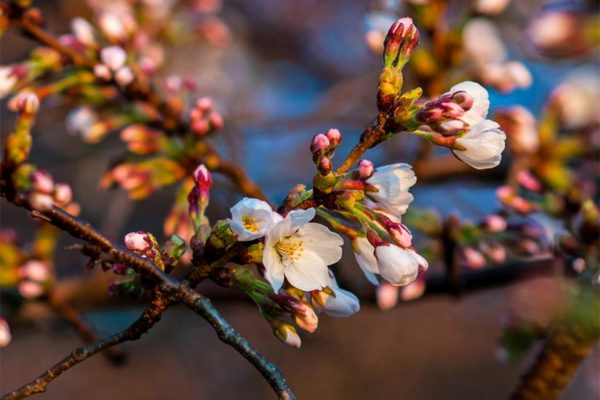 Cherry Blossoms (Flickr pool photo by Nathan Jones)