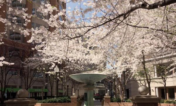 """Arlington Blossoms"" (Flickr pool photo by J. Sonder)"