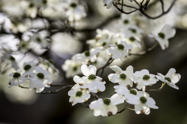 Dogwood flowers in Arlington (Flickr pool photo by Dennis Dimick)