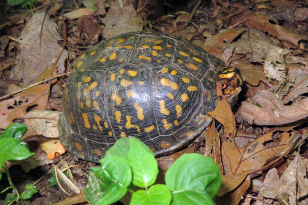 Box turtle (photo via Rachel Tolman)