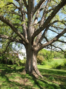 A white oak at 400 N. Manchester Street in Bluemont (photo via Arlington County)