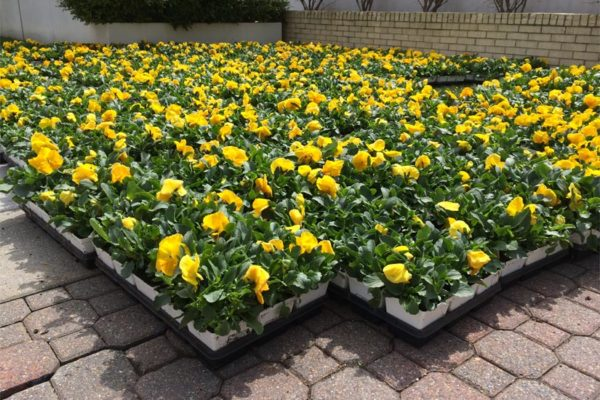 Flowers ready for planting in Rosslyn