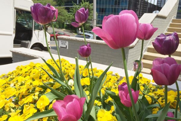 Flowers in bloom on a Rosslyn street corner