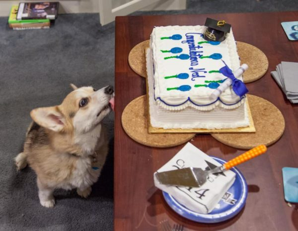 Corgi eyes a graduation cake (Flickr pool photo by Eric)