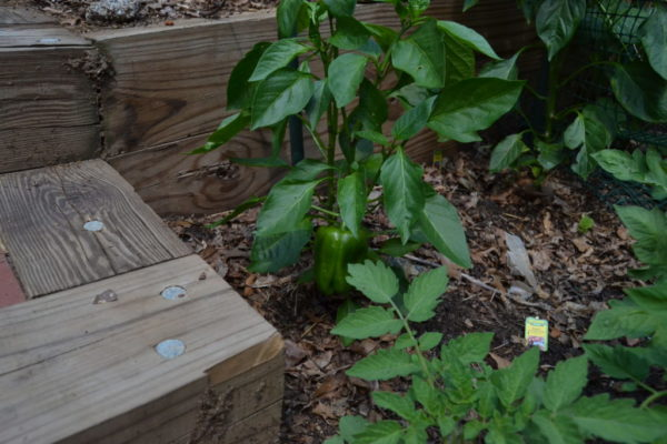 A pepper in Wientzen's garden.