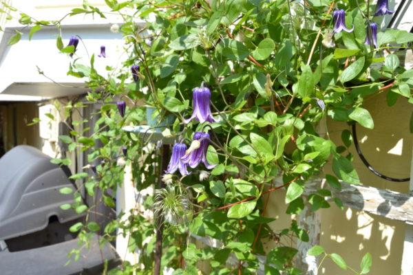 Flowers in Wientzen's garden.