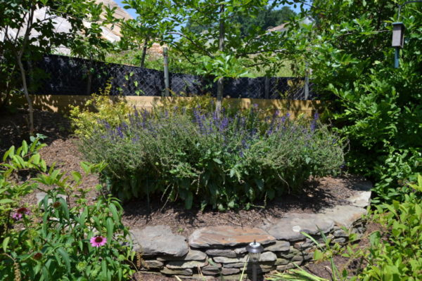 Lavender in Murnane's garden.