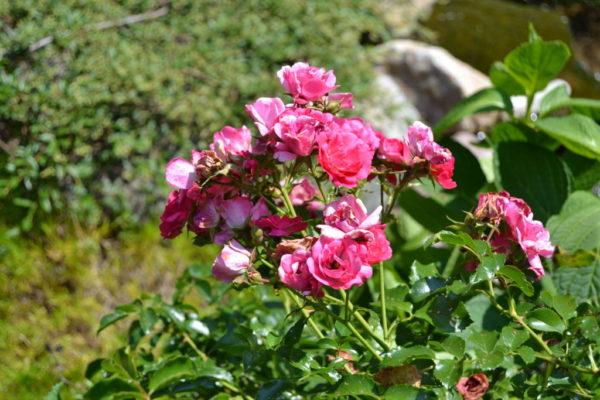 Roses in Murnane's garden.