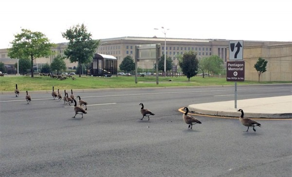 Geese crossing the road near the Pentagon