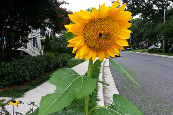 Sunflower on N. Stafford Street