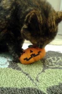 Jess the cat (Photo courtesy NOVA Cat Clinic)