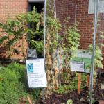 Plants at Arlington Central Library's volunteer garden
