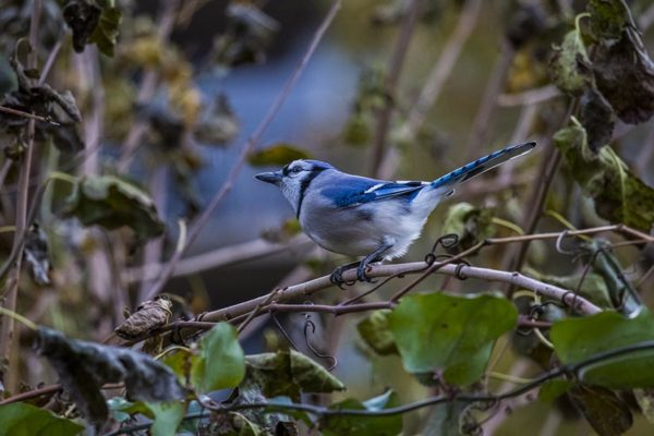 Blue jay (Flickr pool photo by Erinn Shirley)
