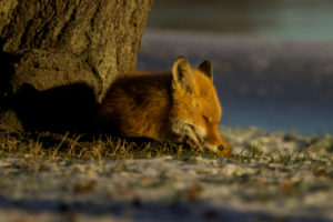 Fox (Flickr pool photo by wolfkann)
