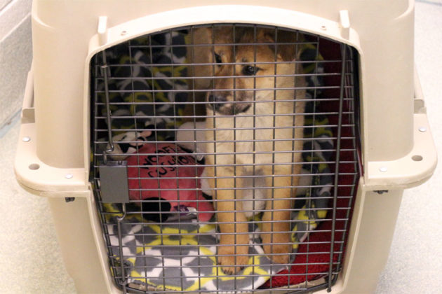A dog at the Animal Welfare League of Alexandria rescued from a Korean meat farm